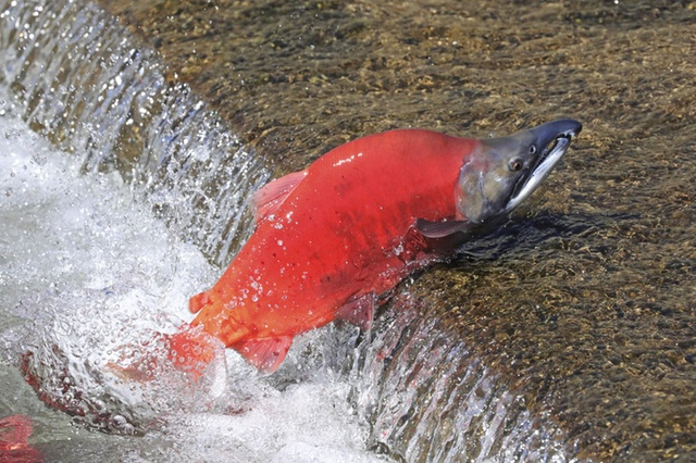 Astaxanthin helps salmon swim